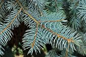 image of blue spruce  - Close up of a blue spruce tree - JPG