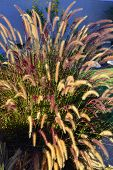 stock photo of fountain grass  - Fountain grass long stems beautiful fluffy brush in the summer garden - JPG