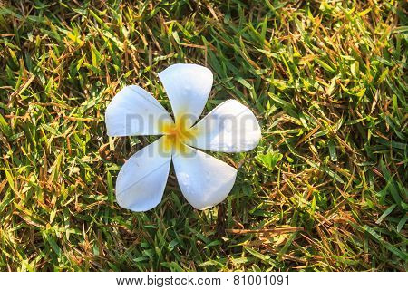 Plumeria Or Frangipani Flowers On Green Grass
