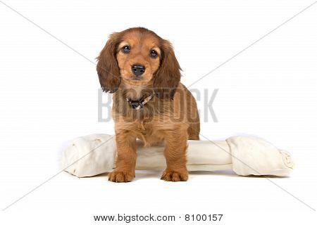 Cute dachshund puppy and a bone toy