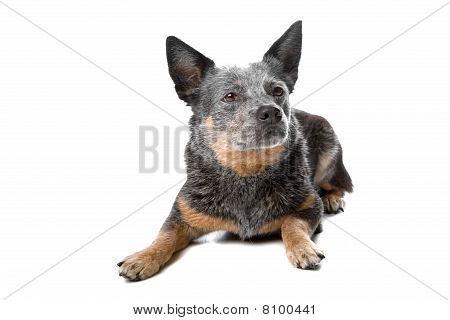 Australian cattle dog (Kelpie, Barb)