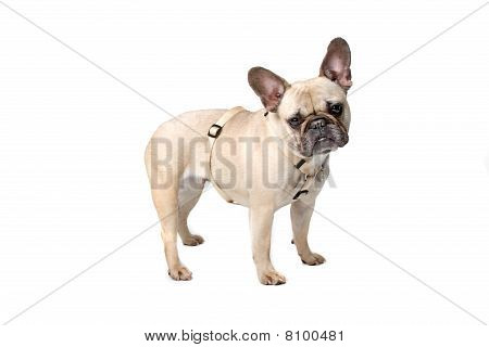 Side view of french bulldog (frenchie)