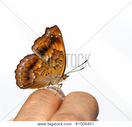 Female Of Siamese Black Price Butterfly On Finger