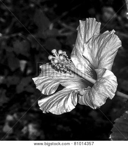 ibiscus flower