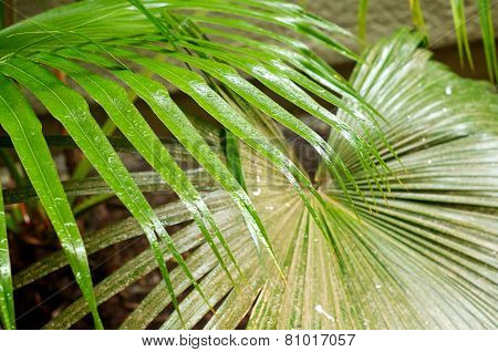 Palm Frond Leaves In The Rain