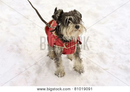 Miniature Black And Silver Schnauzer Standing Wearing The Doggy Coat In Winter On The Snow