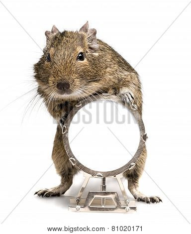 Degu Rodent Playing Big Drum