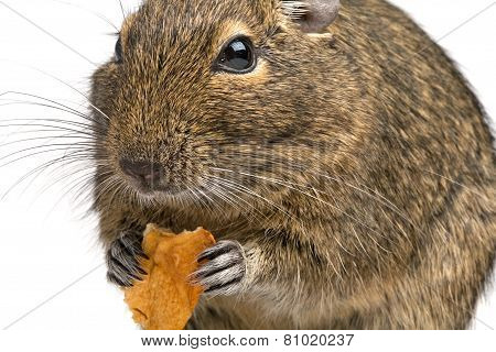 Closeup Rodent With Piece Of Food In Its Paws