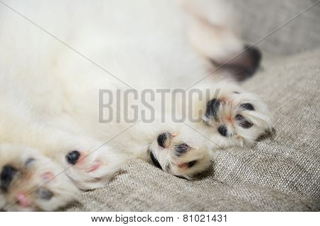 Closeup Paws Sleeping Pomeranian Puppy. Focus On The Paw