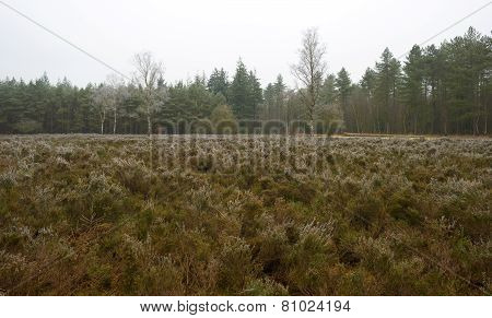 Hoarfrost on heath in a pine forest