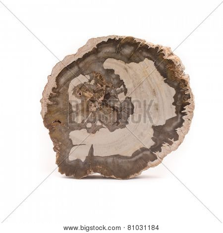 Petrified Wood Madagascar Front Isolated White