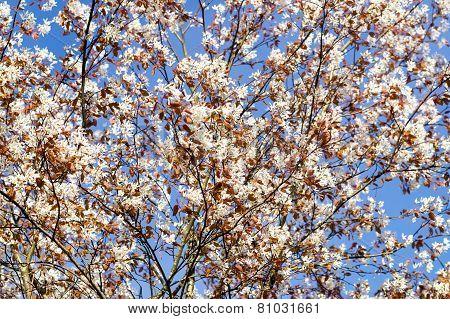 Rosaceae tree