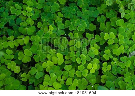 Glade of clovers
