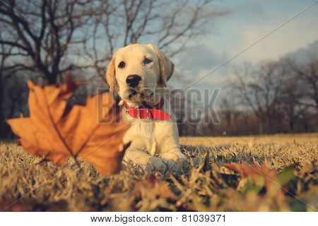 Labrador Puppy Sitting Near Leaf Vintage Retro Instagram Filter