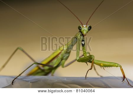 Macro Green Praying Mantis Seen From Front
