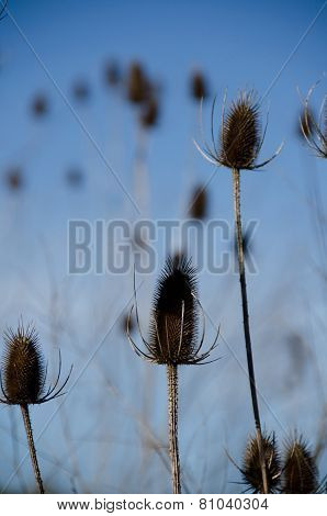 Dry Spiky Seed Heads With Blue Sky In The Background