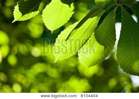 Shallow Focused Chestnut Leaves