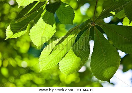 Bright Green Chestnut Leaves