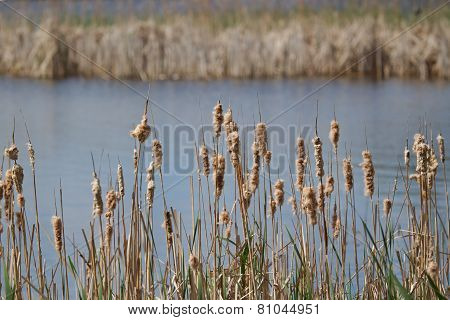 Cat-tails In The Summer