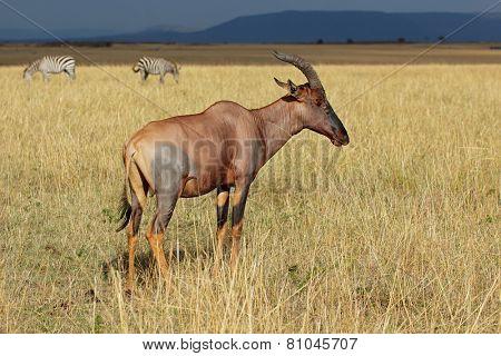 A topi antelope (Damaliscus korrigum), and plains zebras, Masai Mara National Reserve, Kenya