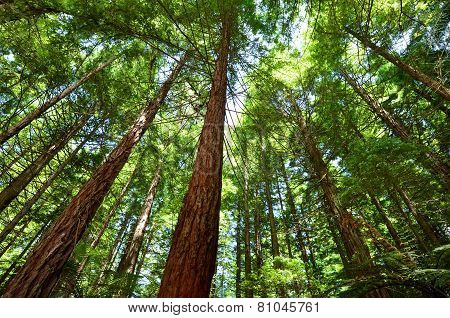 Redwoods In Rotorua New Zealand