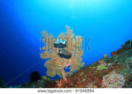 Pair Redtail Butterflyfish and coral underwater