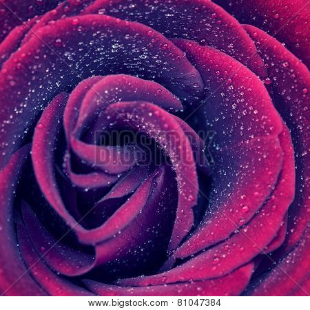 Beautiful purple rose background, abstract floral backdrop, gentle flower petals with little dew drops on it, romantic greeting card for Valentine day