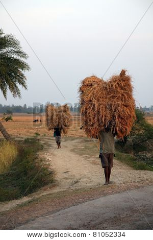 BAIDYAPUR, INDIA - DEC 02 : An unidentified farmer carries rice from the farm home on Dec 02, 2012 in Baidyapur, West Bengal, India. This is the main shipping method farmers