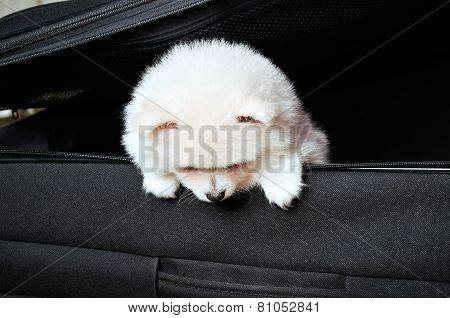 Pomeranian Puppy Peeking Out Of A Black Suitcase Down