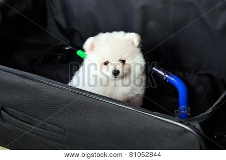 Pomeranian Puppy Sitting In A Suitcase
