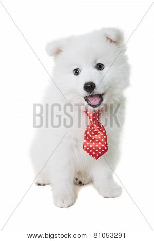 Happy Japanese Spitz wearing a red tie.