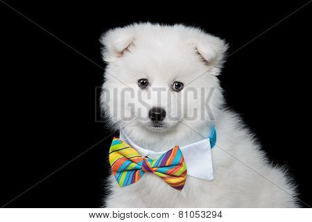 Japanese spitz puppy wearing a bow tie