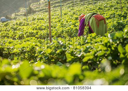 woman Harvests Strawberries