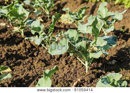 Chinese Kale (kale vegetable) planting in a organic garden