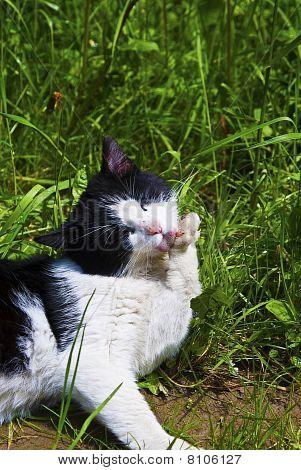 Cat Licking Her Leg