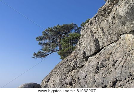 Relict Pine On A Rock. Crimea.