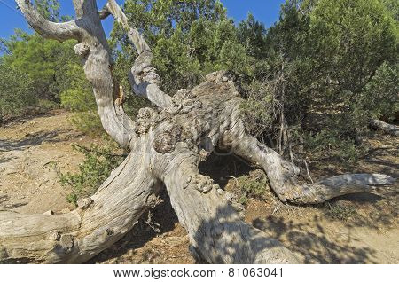 Dried Relict Pine.