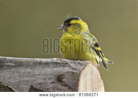 Carduelis spinus, eurasian siskin in the snow, France