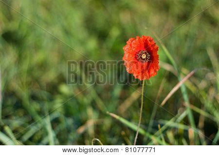 Single Poppy Over Green