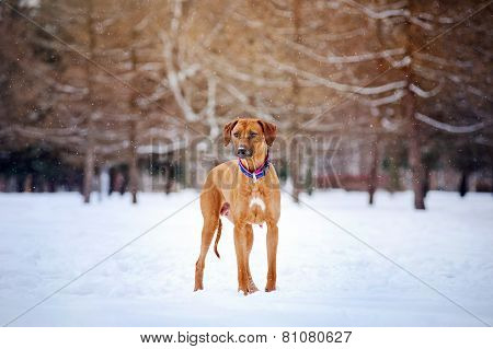 Rhodesian Ridgeback On Winter Background