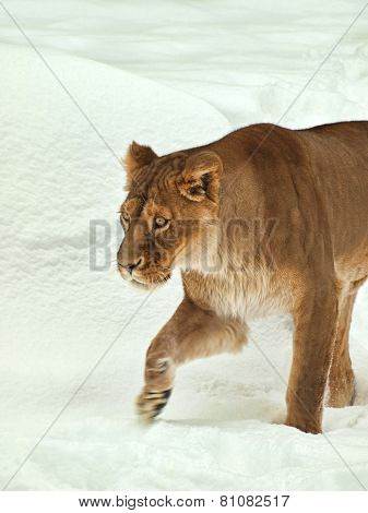 Lion In Snow