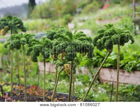 Crop Of Kale Plants