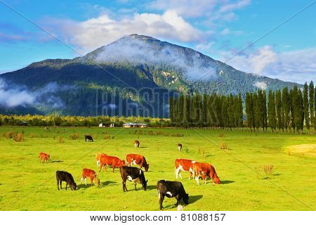 Rural idyll in Chile. Orange and black cows graze on green pasture.