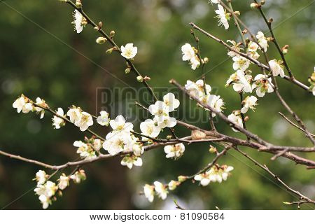 Plum flowers, Flowering plum