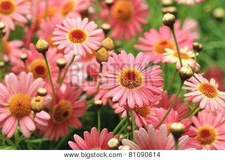 Chrysanthemum flowers and buds