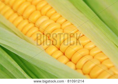Close-up View Of Ripe Corn On The Cob With Green Leaves