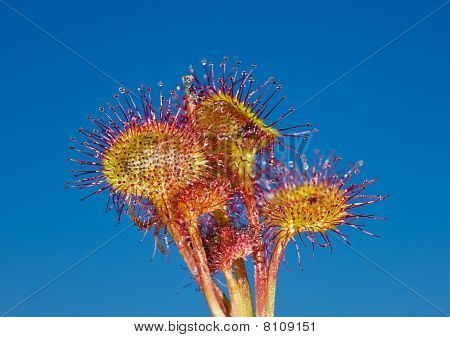 Flowers Of Sundew