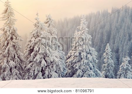 Fir Trees Covered With Snow At Sunset