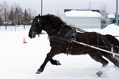 foto of yoke  - Canadian horse pulling sleigh for winter obstacle cone driving - JPG