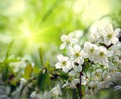 image of tree-flower  - Branch of a flowering spring tree with beautiful white flowers - JPG